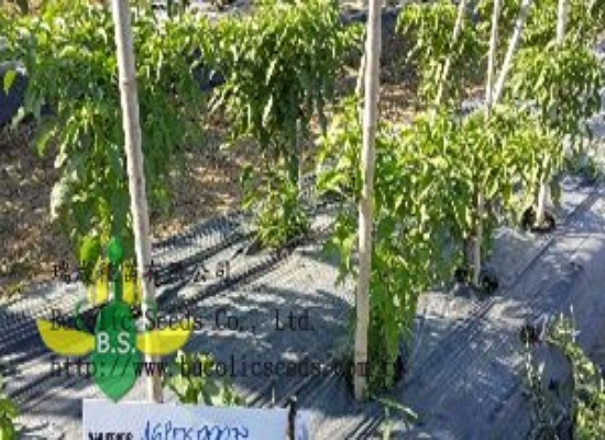 Rootstock pepper A2023BS