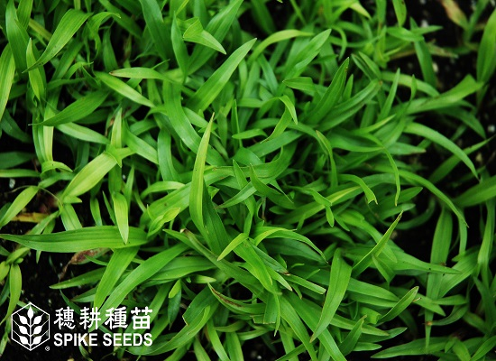 415 Carpet Grass - Taiwan Seed Service
