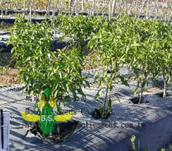 Rootstock pepper A2021BS